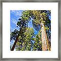Sequoias Reaching To The Clouds In Mariposa Grove In Yosemite National Park-california Framed Print
