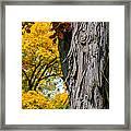 Shagbark Hickory Tree Framed Print