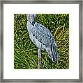 Shoebill Stork Framed Print