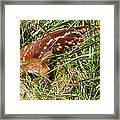 Shy Fawn In Meadow Framed Print