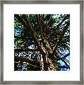 Skyward Spruce Framed Print