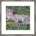 Sleepy Cheetah Framed Print