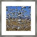 Snow Goose Flock Taking Off Framed Print