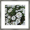 Snow In Summer Framed Print