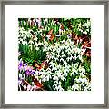 Snowdrops And Crocuses Framed Print