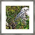 Snowy Owl In Salmonier Nature Park-nl Framed Print