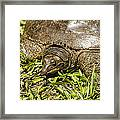 Florida Soft Shelled Turtle - Apalone Ferox Framed Print