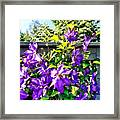 Solina Clematis On Fence Framed Print
