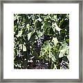 Sonoma Vineyards In The Sonoma California Wine Country 5d24489 Framed Print