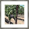 Sonoma Vineyards In The Sonoma California Wine Country 5d24490 Framed Print