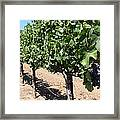 Sonoma Vineyards In The Sonoma California Wine Country 5d24491 Framed Print