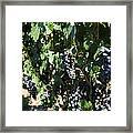 Sonoma Vineyards In The Sonoma California Wine Country 5d24629 Framed Print