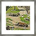Southern White Rhinoceros In San Diego Zoo Safari Park In Escondido-california Framed Print