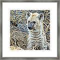 Spotted Hyena Pup In Kruger National Park-south Africa  Framed Print