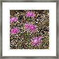 Spotted Knapweed Framed Print