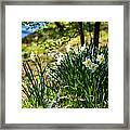 Spring Daffodils.park Keukenhof Framed Print