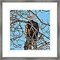 Spring Eagle Framed Print