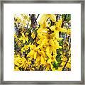 Spring - Sprig Of Forsythia Framed Print