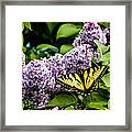 Springtime Lilac And Butterfly Framed Print