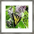 Springtime Moments- The Butterfly And The Lilac  Framed Print