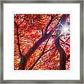 Star Light Thru Maple Framed Print