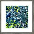 Steller's Jay In A Tree Framed Print
