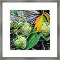 Strawberries - Soon To Be Picked Framed Print