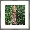 Strawberry Farm Field Framed Print
