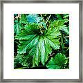 Summer Squash Leaves Framed Print