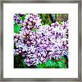 Sun Lit Lilac The Sweet Sign Of Spring Framed Print