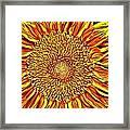 Sunflower 3 Framed Print