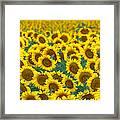 Sunflower Explosion Framed Print