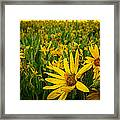 Sunflower Storm Framed Print