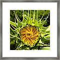 Sunflower Whirl Framed Print