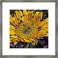 Sunflower With Ladybugs Framed Print