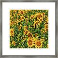 Sunflowers Helianthus Annuus Growing Framed Print