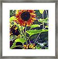 Sunflowers In The Park Framed Print