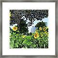 Sunflowers Outside Ford Motor Company Headquarters In Dearborn Michigan Framed Print by Design Turnpike