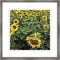 Sunflowers Panorama Framed Print