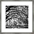 Sunlight Through Spanish Oak Tree - Black And White Framed Print