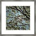 Sunlight Through The Dogwood Framed Print