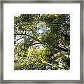 Sunlit Tree Tops Framed Print