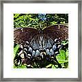 Swallowtail Butterfly Framed Print by Susan Leggett
