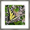 Swallowtail On Lilacs Framed Print