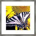Swallowtail Sunflower Framed Print