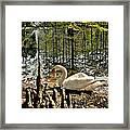 Swan Lake Watercolor Framed Print