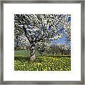 Sweet Cherry Orchard In Full Bloom Framed Print