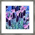 Sweet Lavender Framed Print