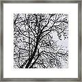 Sweetgum Silhouette On A Rainy Day Framed Print