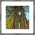 Tahoe Trees - Lake Tahoe By Diana Sainz Framed Print